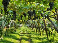 pergola style wine cultivation in South Tyrol