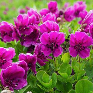 Beautiful wild alpine purple flowers Rhododendron Camtschaticum