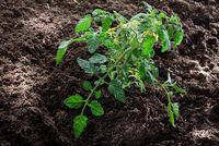 Tomatenpflanze im Gemüsebeet