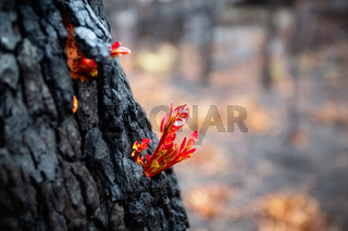 Small leaves burst forth from a tree trunk after bush fire