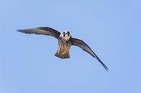 Eleonorenfalke, Falco eleonorae, Eleonoras Falcon