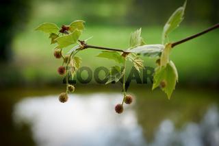 Blätter und Früchte einer Platane