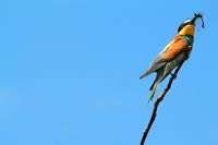 Bee-eater standing on a branch holding its prey