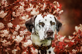 Dalmatian dog sitting under a hawthorn
