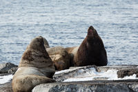 Rookery Steller Sea Lion or Northern Sea Lion