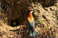 Bee-eater in front of its home in the ground