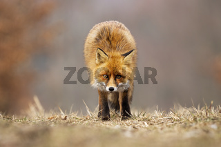 Red fox looking to the camera on meadow in autumn.