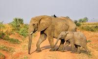 Elefanten im Murchison Falls Nationalpark Uganda (Loxodonta africana) | Elephants, Murchison Falls National Park Uganda (Loxodonta africana)