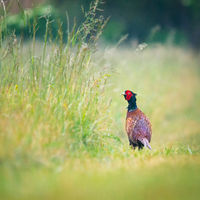pheasant in a meadow in the morning