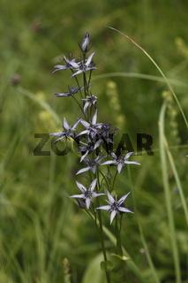 Tarant,blauer Sumpfstern,Moorenzian,swertia perennis