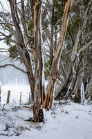 Australian gum trees in the winter snow