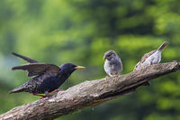 Star im Brutkleid trifft auf junge Haussperlinge / Sturnus vulgaris  -  Passer domesticus