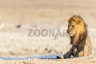 Afrikanischer Loewe (Panthera leo), Afrikanischer Löwe in Namibia