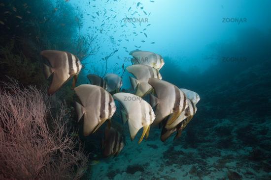 Langflossen-Fledermausfisch, Malediven