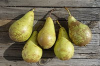 Pyrus communis Conference, Birne, Pear