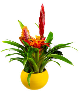 Isolated potted bromelia flower