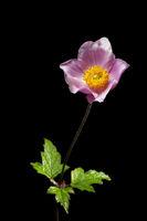 Anemone hupehensis on black _ Herbst-Anemone
