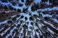 Looking up at tall pine trees