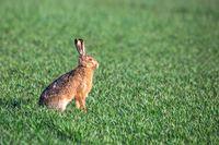 wild rabbit, European hare, europe wildlife
