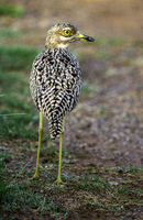 Spotted Thick-knee_2.jpg