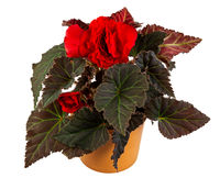 Isolated potted begonia flower