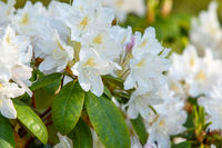 Abstract background of blooming rhododendron of white color.