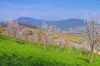 Birkweiler Pfaelzer Mandelhain während der Mandelblüte im Frühling - landscape around Birkweiler during the almond blossom in spring , Germany