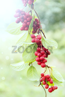 Ripe fruits of red schizandra with green leaves hang in sunny rays in garden