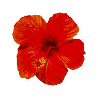 Red Hibiscus Isolated Photo