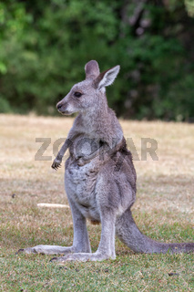 Juvenile kangaroo on a grassy area near bush land