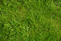 Green Grass Lawn Or Meadow, Texture Or Background
