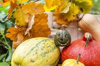 Kürbisse mit Kürbislaterne zu Halloween im Garten, Pumkin and squashes wit jack o'lantern at halloween in garden