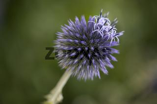 Blaue Kugeldistel (Echinops) im Garten