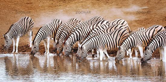Trinkende Zebras, Etosha-Nationalpark, Namibia   Drinking zebras, Etosha National Park, Namibia