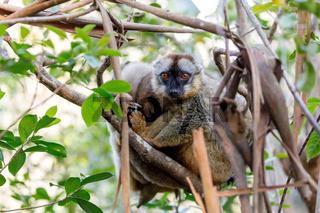 Common brown lemur in top of tree