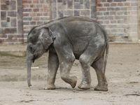 Asiatisches Elefantenbaby Kiran im Elefantentempel  Ganesha Mandir vom ZOO Leipzig