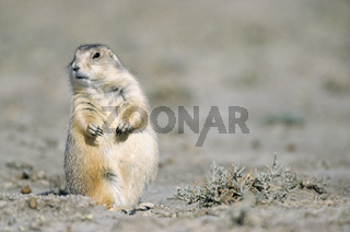 Schwarzschwanz-Praeriehund sitzt entspannt in der Praerie - (Praeriehund) / Black-tailed Prairie Dog sitting relaxed in the prairie / Cynomys ludovicianus