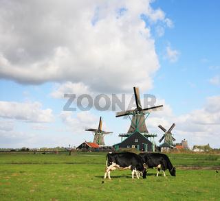 The graze groomed corpulent cow