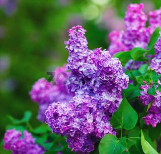 Blossoming purple lilacs