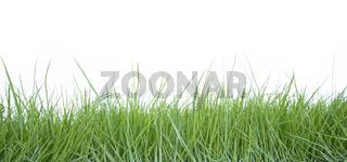 Fresh grass on white background