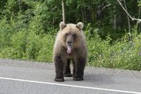 Kamchatka brown bear put his tongue out of his mouth