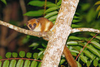 The brown mouse lemur, Madagascar wildlife