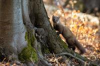 Pine marten climbing on tree in sunny autumn nature