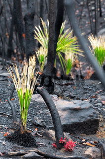 Fireproof plants and trees regenerating after bush fire