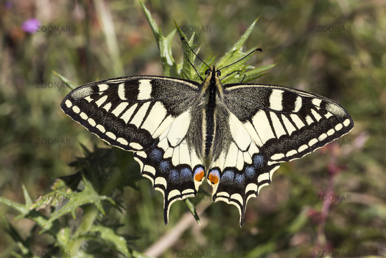 Papilio machaon, Schwalbenschwanz