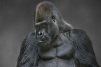 Gorilla Silberruecken