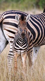Junges Steppenzebra, Südafrika, Kruger Nationalpark, South Africa, young Plains Zebra, Perissodactyla, Equus quagga