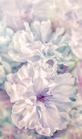 Beautiful sakura flower cherry blossom vertical background. Soft focus. Greeting gift card template. Pastel vintage toned image. Nature panoramic abstract. Copy space. Shallow depth