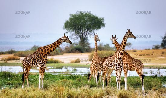 Rothschild-Giraffen am Albertsee im Murchison Falls Nationalpark Uganda (Giraffa camelopardalis rothschildi) | Ugandan giraffe at Lake Albert, Murchison Falls National Park Uganda (Giraffa camelopardalis rothschildi)