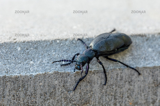 poisonous violet oil beetle